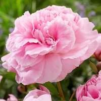 Paeonia Pink - Peony Bare Root
