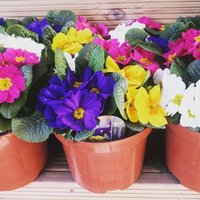 Primrose Planter - Instant Spring Colour Primula Pot