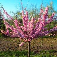 Large 6-7ft - Prunus triloba - Double Flowering Cherry-Almond TREE
