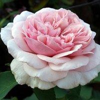 Rose Souvenir de la Malmaison - Climbing Rose
