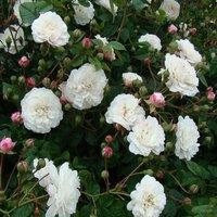 Rose Felicite Perpetue - Climbing Rambling Rose