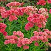 Sedum Herbstfreude  - Autumn Joy - Stonecrop Plants