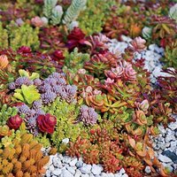Hardy Succulent Sedum Collection - Pack of FIVE Evergreen Ha
