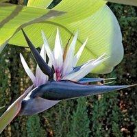 RARE - Strelitzia nicolai - Young White Bird of Paradise Plant