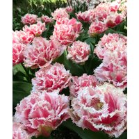 Tulip Queensland - Double Fringed Tulips - Pack of 6 Bulbs
