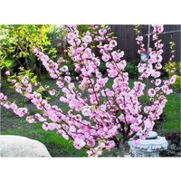 Prunus triloba - 130-160cm Flowering Cherry-Almond TREE