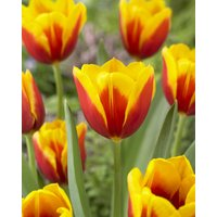 Tulip Kees Nelis - Pack of 12 Bulbs