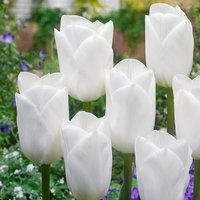 Tulip Royal Virgin - 50 Bulbs