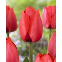 Tulip Spryng - Pack of 12 Bulbs