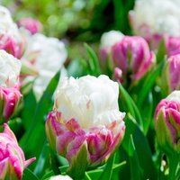 Tulip Ice Cream - Pack of 6 Bulbs