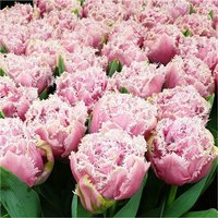 Tulips Cairns - Double Fringed Tulip - Pack of 6 Bulbs
