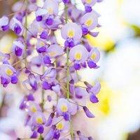 Wisteria floribunda Domino (Issai) - Large Specimen Plant 6ft+