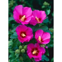 Hibiscus syriacus Woodbridge - Pink Tree Hollyhock
