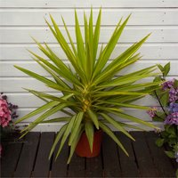 LARGE Patio Adams Needle Yucca Jewel Palm Trees - Approx 70-80cms