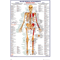 Human Body Muscles Attachments Anterior Maxi Poster
