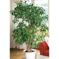 Ficus Benjamanica Exotica 21cm pot