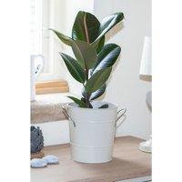 Ficus Elastica Robusta (Rubber Plant) In 17cm Pot