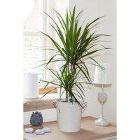 Dracaena Marginata 2 Stem Plant in 17cm Pot