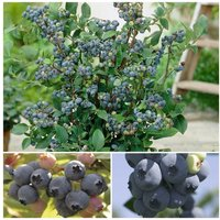 3 Varieties Blueberry Collection.