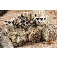 Meeting the Meerkats for Two, Oxfordshire - Meerkat Gifts
