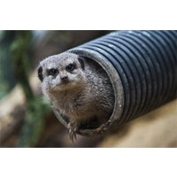 Meet the Meerkats and Afternoon Tea for Two at Kirkley Hall Zoo - Meerkat Gifts