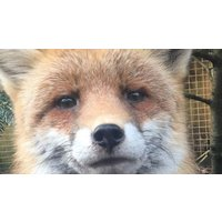Image of Entry to Exotic Zoo with a 30 Minute Fox Experience for Two