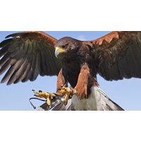 Image of Bird of Prey Falconry Experiences