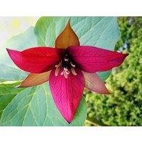 20-red-trilliumwood-lily-roots-trillium-erectum