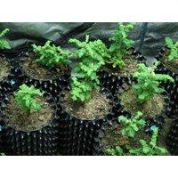 frankincense-plant-3-viable-seeds-boswellia-sacra-rare