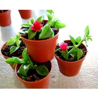 red-apple-baby-sun-rose-aptenia-ice-plant-trailing-succulent-houseplant