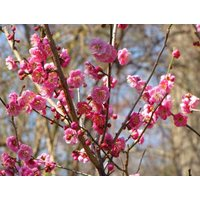 japanese-apricot-chinese-plum-prunus-mume-tree-seeds