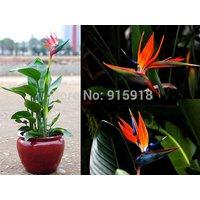 100-pcs-strelitzia-reginae-seeds-hybrid-bird-paradise-bonsai-plants-home-garden