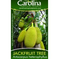 jackfruit-tree-seedlings-8-to-12-inches-tall