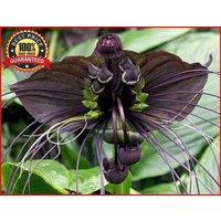 50-black-bat-flower-tacca-chantrieri-cat-s-whiskers-devil-flower-seeds-rare