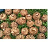 10-live-colocasia-esculenta-elepant-ear-taro-gabi-kalo-eddo-bulbs-ready-to-grow