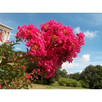 country-red-crape-myrtle-lagerstroemia-established-roots-4-pot-3-plants