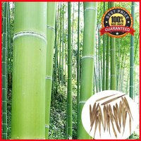 200-fresh-moso-bamboo-seeds-phyllostachys-pubescens-giant-bamboo-hardy-rare
