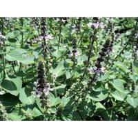 500-tulsi-tulasi-ocimum-sanctum-seeds-gift-seeds