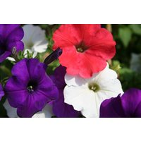 annual-dreams-patriotamerican-mix-petunia-seeds-red-white-blue-usa-fresh