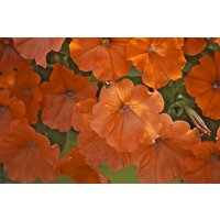 annual-african-sunset-petunia-seeds-orange-easy-to-grow-high-quality-fresh