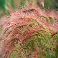 100-ornamental-foxtail-barley-hordeum-jubatum-aka-squirreltail-grass-seeds