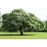 catalpa-tree-50-catalpa-bignonioides-seeds