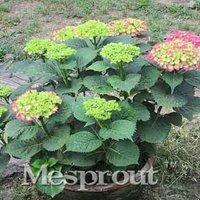 hydrangea-seeds-hydrangea-flower-pot-plant-cultivation-seeds-10pcs-color-4
