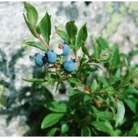 wild-blueberry-plants-starters-20