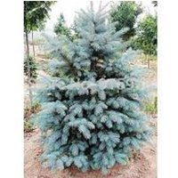 blue-spruce-seedlings-20-24