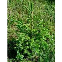 norway-spruce-seedlings-6-10