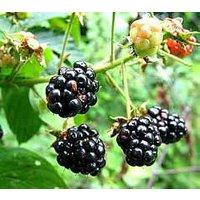 black-berry-plants-50-pack