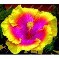 100pcsbag-hibiscus-flower-seeds-giant-hibiscus-seed-color-yellow-pink