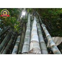 200++ Fresh_Giant_Bamboo_Seeds with instructions - Dendrocalamus_Giganteus!!