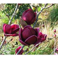 rare-genie-dark-red-yulan-magnolia-tree-flowerseedsprofessionalpack10-pcspack